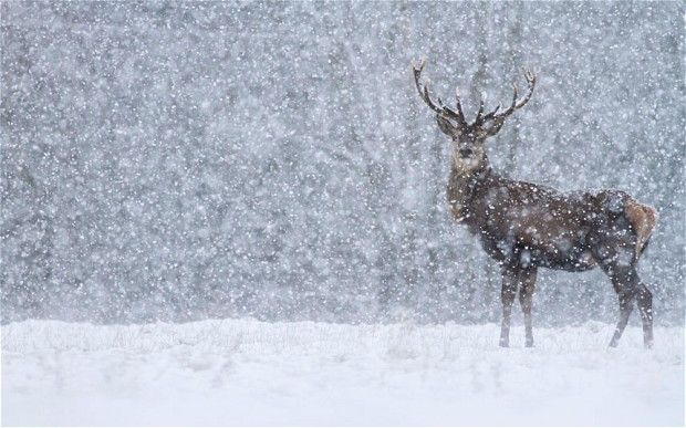 Beautiful Buck in the snow   www.Skymosity.com