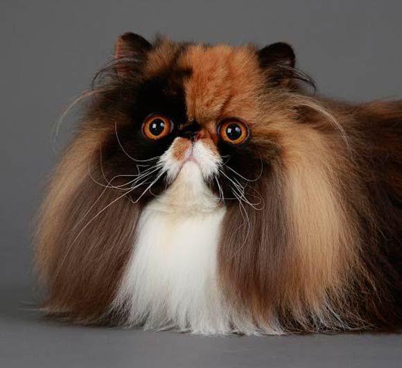Calico Persian | CATS | Pinterest