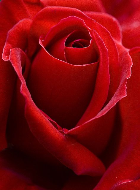 red rose - gorgeous!