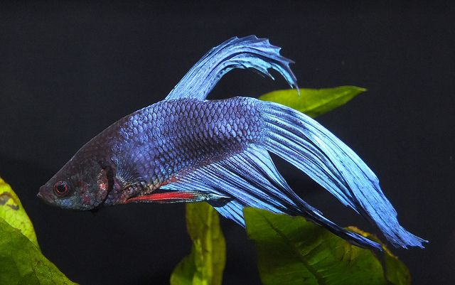male veiltail betta fish betta fish pinterest