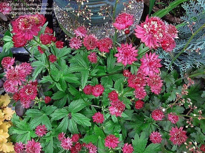 Astrantia Masterwort Ruby Wedding For The Garden