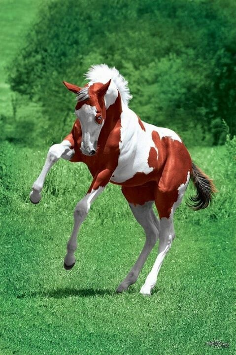 A red and white paint   baby horses   Pinterest