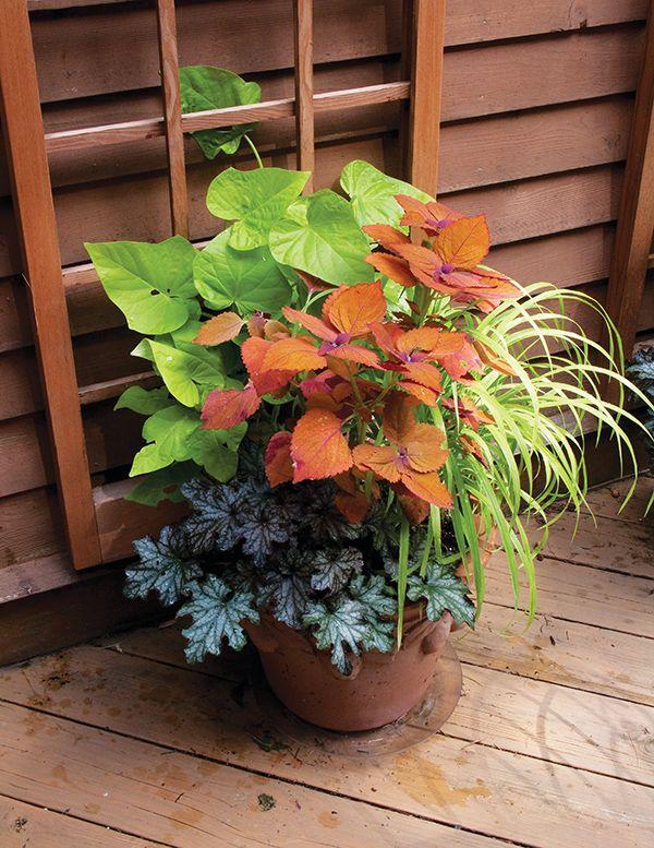 Coleus 'Sedona,' Sweet Potato Vine 'Marguerite' and Coralbells 'Black Currant'