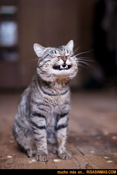 Smiley cat | ANIMAL LOVE | Pinterest: pinterest.com/pin/190488259209923237