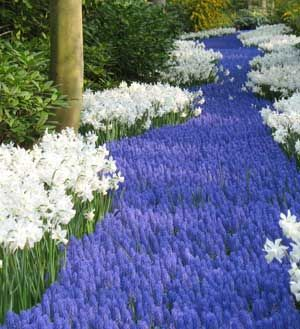 River of Muscari at the Keukenhof. Also beautiful with yellows of daffodills.