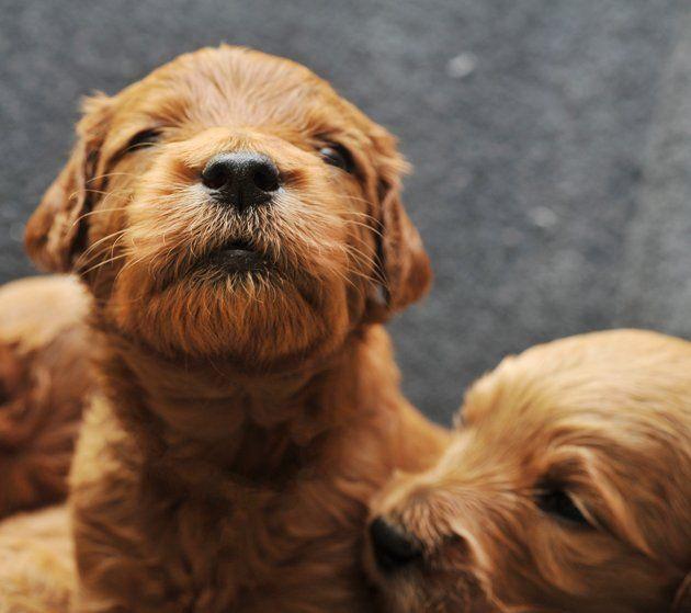 Adorable newborn puppies in their first three weeks traer scott