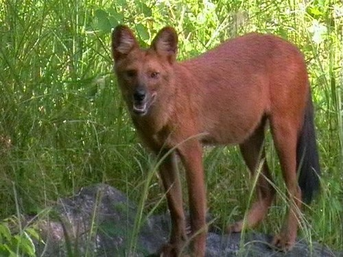 The Island Of The Blue Dolphins Rontu wild jungle dog | dogs...