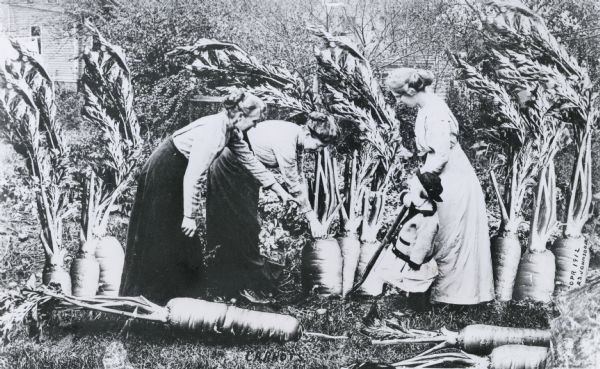 'Carrots.' Photomontage of three women and a little girl pulling up a giant carrot root. Waupun, Wisconsin. Alfred Stanley Johnson Jr. 1913.