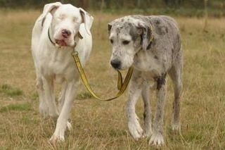 """Lily, a great dane lost his eyesight due to a rare disease. He became disheartened until he met Madison. They have been together for 5 years and Madison guides Lily by the leash and touches him to make sure he doesn't stumble over anything."" True Friendship. Wow~"