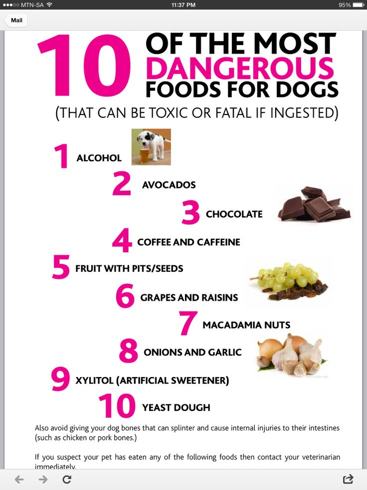 chorkie kyzer dangerous foods for dogs 417 secret board food for dogs ...