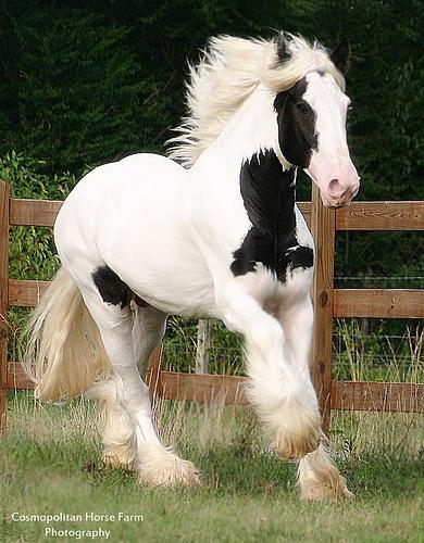 """Drum Horse stallion """"Chalk Talk"""""""