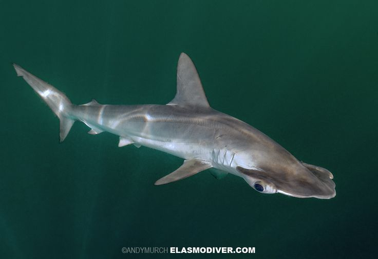Smooth Hammerhead. La Paz, Mexico. | Sharks and other Marine Predator ...