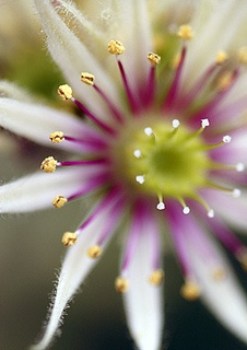 sempervivum grandiflora