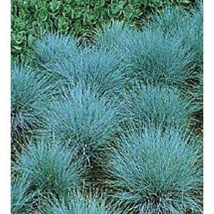 Blue fescue love ornamental grasses landscaping pinterest for Small blue ornamental grass