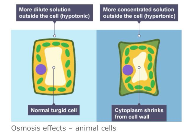 effect of solute concentration on osmosis Osmosis can also be defined as the passive transport from a low solute concentration to a high solute concentration through a semi-permeable biological membrane - this means that the water will try to compensate for the high solute concentration.