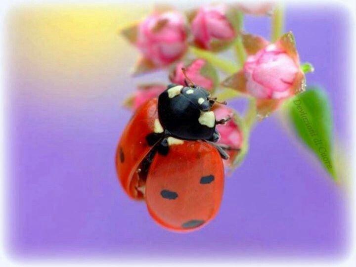 Ladybug Mariquita Coquito