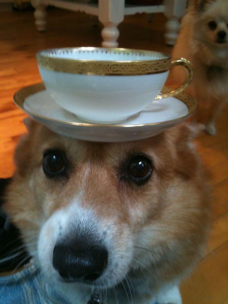 Corgi balancing teacup! | Animals | Pinterest