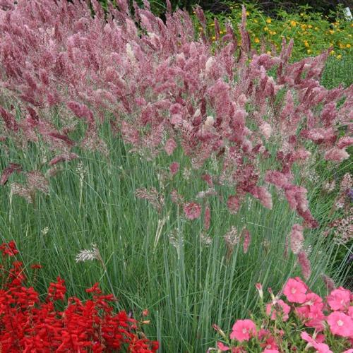 Ornamental grass melinis savannah ornamental grass and for Small red ornamental grass