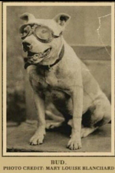 the history of the american pitbull Pbrc is an educational and listing resource for owners and caretakers of american pit bull terriers, american  the last 160-plus years of american history.