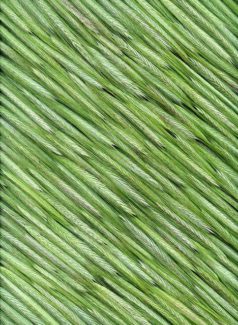 43944 Secale cereale by horticultural art, via Flickr