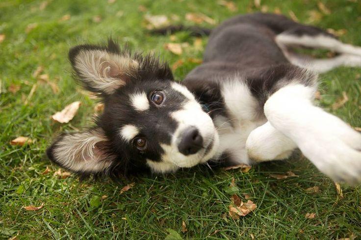 Husky Border Collie Mix Puppies border-collie /...