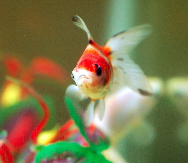 Baby Pearlscale Goldfish