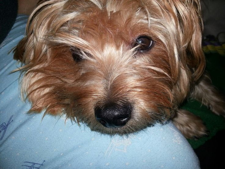 ... yorkie my protector Xerxes... | Posh Paw Prints On The Park For th