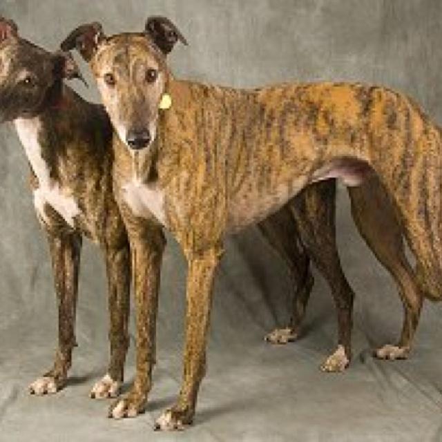 Brindle Greyhound | Dog Breeds Picture