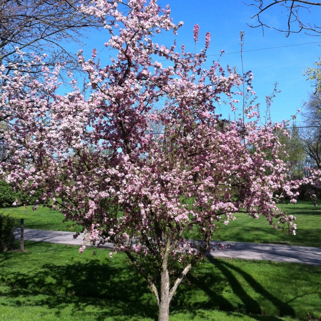 My pretty tree in my front yard outdoors pinterest for Small pretty trees for front yard