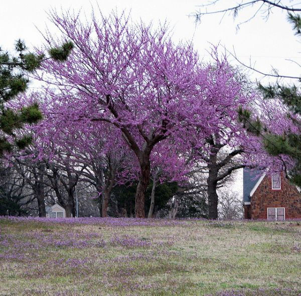Pin by doc gattis on oklahoma pinterest for Hardy flowering trees