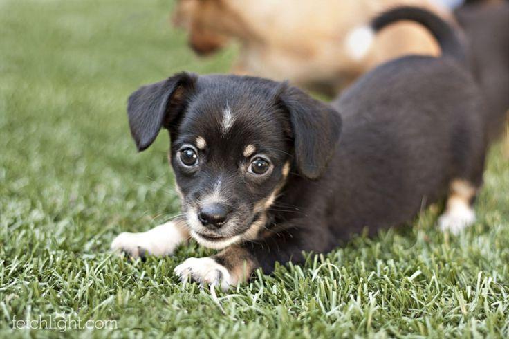dachshund and lab mix dog photos   Adoptable Dog Spotlight: Dachshund ...