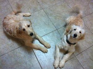 AR - Kandi & Bambi is an adoptable Standard Poodle Dog in Sherwood, AR ...