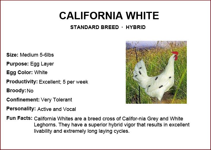 Chicken Breeds - California White | Gonna be a farmer someday. | Pint ...