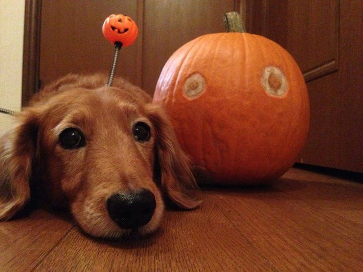 Happy halloween with cute dog!! | Doggies | Pinterest
