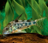 Peppered Cory Corydoras / CATFISH NICE AS PICTUREDLISTING IS FOR 1 ...