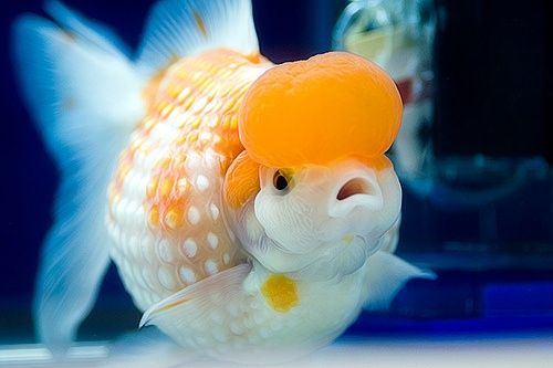 pearlscale goldfish Crown pearlscale Goldfish