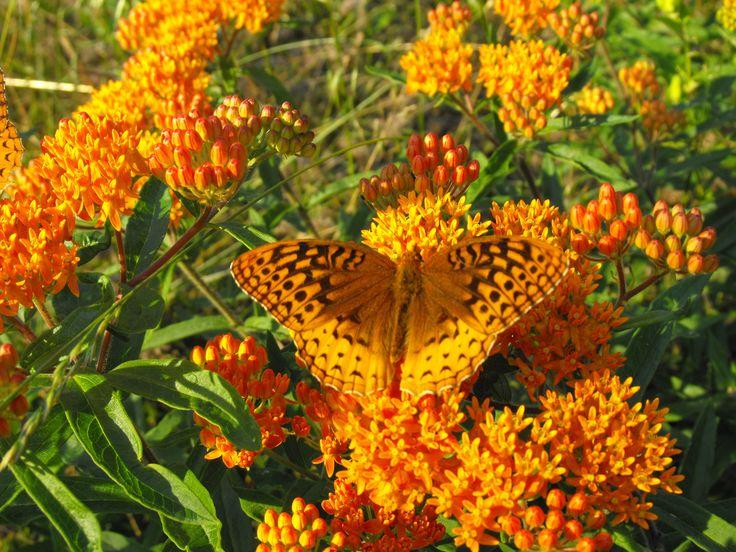 Orange Butterfly | Beautiful things | Pinterest