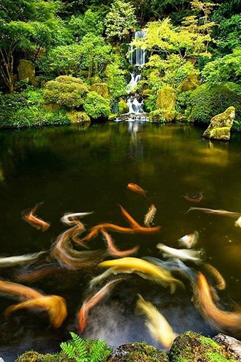 Waterfall koi fish kyoto japan favorite places for Koi pond supply of japan