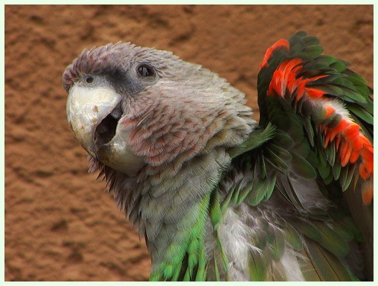 Cape Parrot   Parrots   Pinterest
