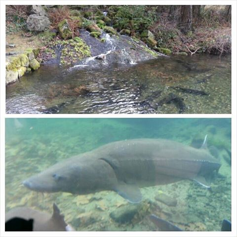 Pin by barbara parkins on been there done that for Bonneville fish hatchery