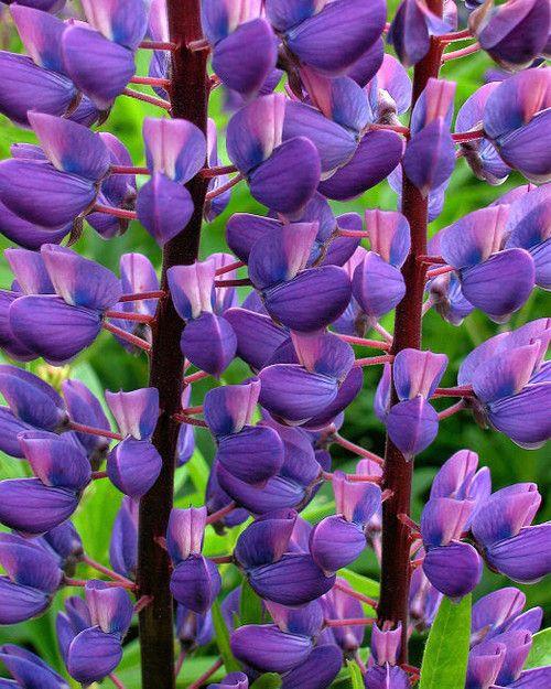 Lupine ~ to plant.... | Landscape & Homesteading | Pinterest