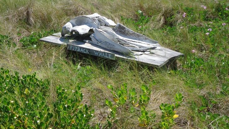 Fin whale skeleton - photo#10