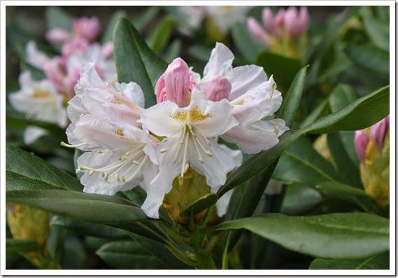 cunningham white rhododendron my gardens pinterest. Black Bedroom Furniture Sets. Home Design Ideas