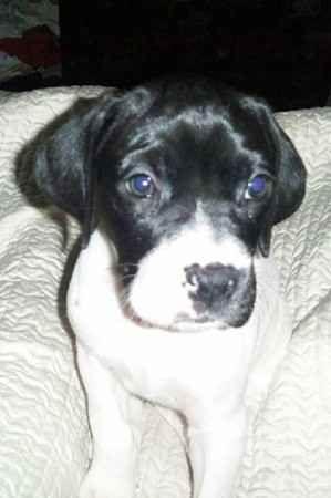 Boxer German Shorthaired Pointer Hybrid Dogs | Dog Breeds ...