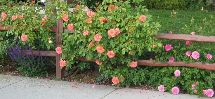 westerland climbing rose roses pinterest. Black Bedroom Furniture Sets. Home Design Ideas