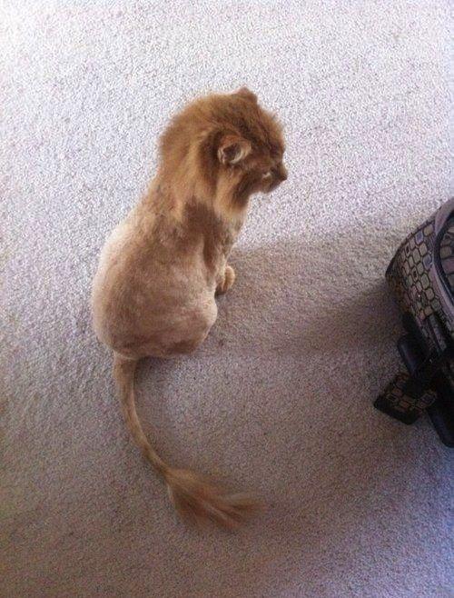 Lion cat (literally).