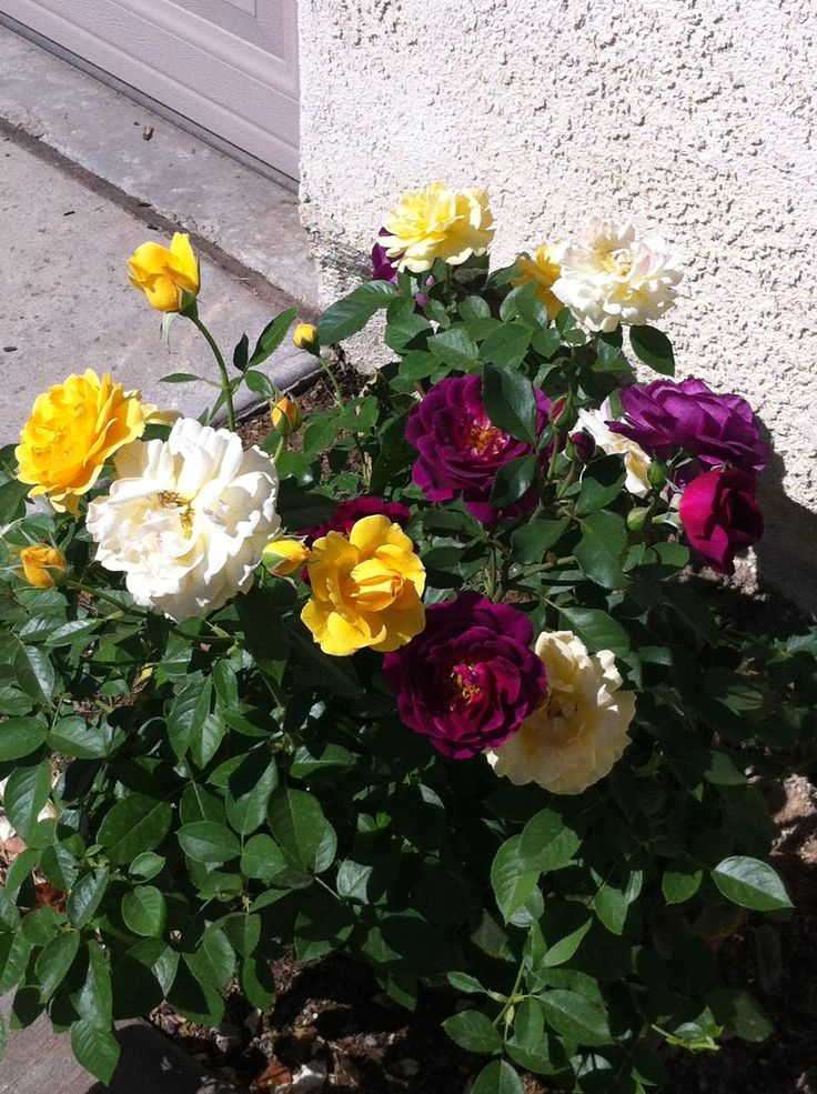 Pin by athena rios on grafted trees flowers pinterest for Multi colored rose bushes