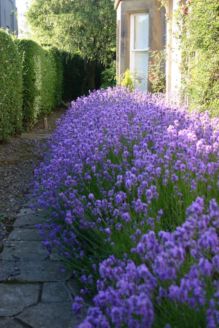 Lavender 39 hidcote 39 gardens planting ideas pinterest for Garden design ideas lavender