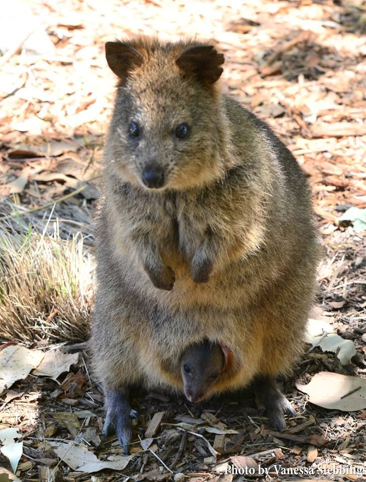 Baby quokka smiling - photo#9