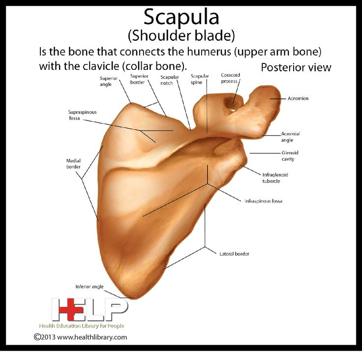 Scapula (Shoulder Blade) Posterior View | Skeletal | Pinterest
